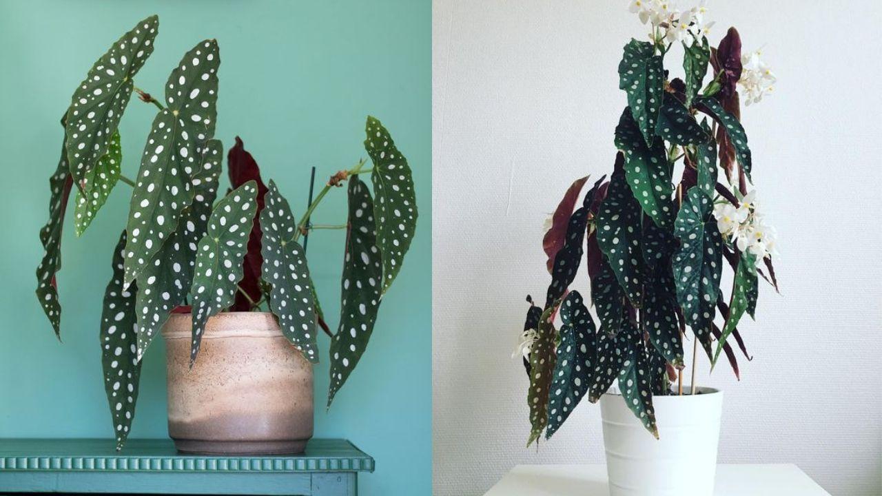 Meet my new favourite plant: Begonia Maculata Wightii